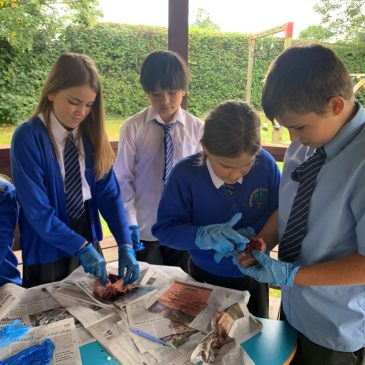 Dissecting a lamb's heart